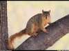 tree-squirrel
