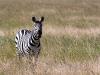 thumbs serengeti zebra 1954 Photoblogger for September