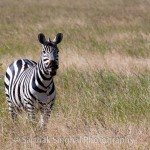 Serengeti Zebra 19541 150x150 Being right all the time