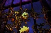 midnight roses